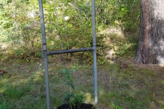 Humulus lupulus 'Nordbrau' honplanta 2