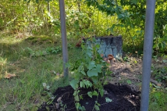 Humulus lupulus 'Nordbrau' honplanta 1